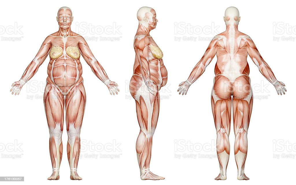 Muscles of a overweight woman, for study royalty-free stock photo