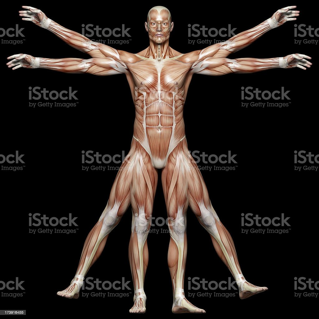 Muscles of a vitruvian man for study royalty-free stock photo
