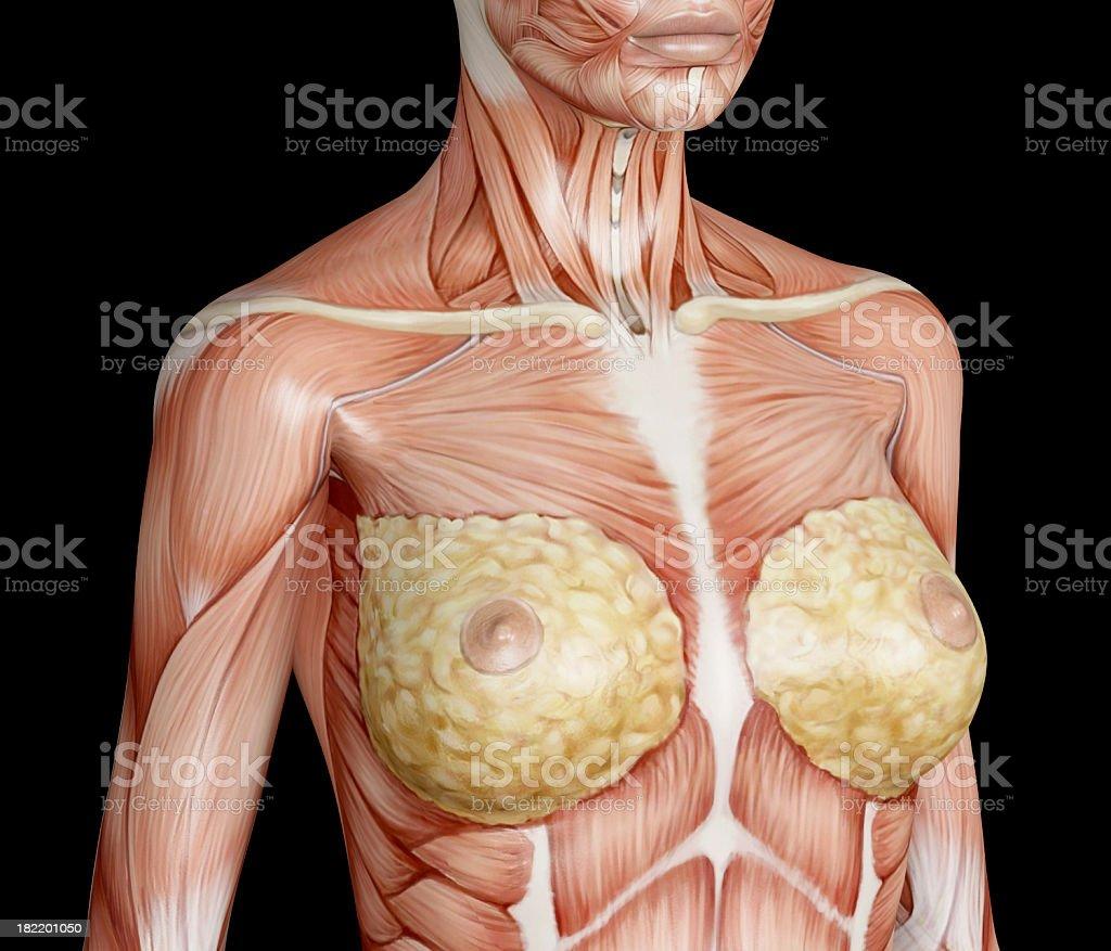 Muskeln Weiblicher Torso Breast In Focus Stock-Fotografie und mehr ...