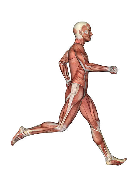 Muscles of Male Anatomy in Motion stock photo