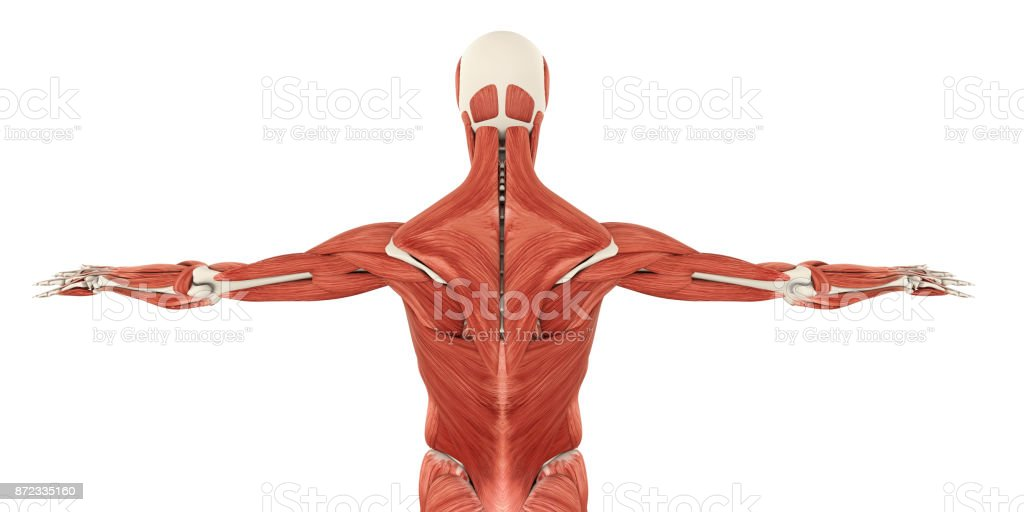 Muscles Of The Back Anatomy Stock Photo More Pictures Of Abdominal