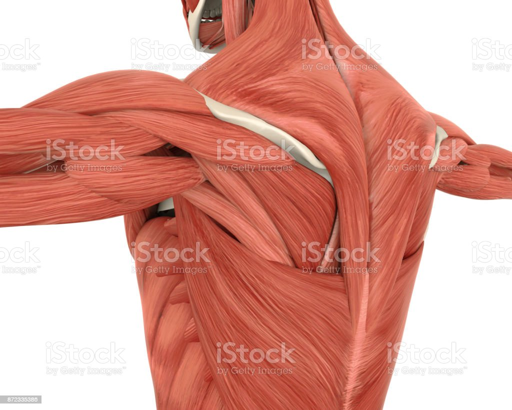 Muscles of the Back Anatomy stock photo