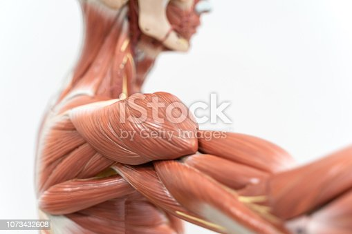 istock Muscles of the shoulder for physiology education. 1073432608