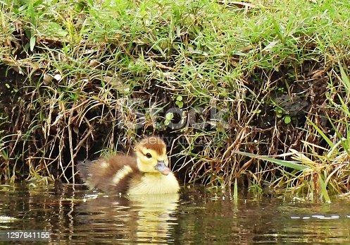 Muscovy Duck juvenile