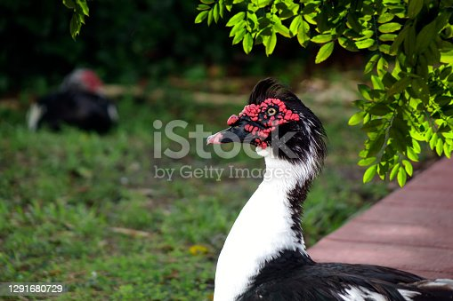 Close up domestic Muscovy Duck head on green field