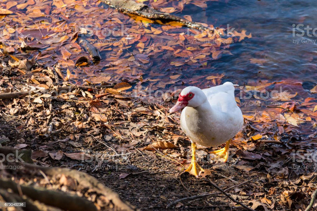 Muscovy duck on shore of lake stock photo