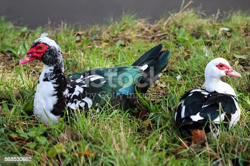 close up of muscovy duck