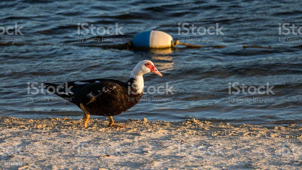 Muscovy Duck Walking, Lake at The Hammocks, Kendall, Florida stock photo