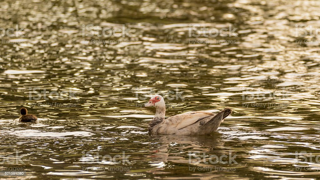 Muscovy Duck With Ducklings in the Water, Lake, The Hammocks stock photo