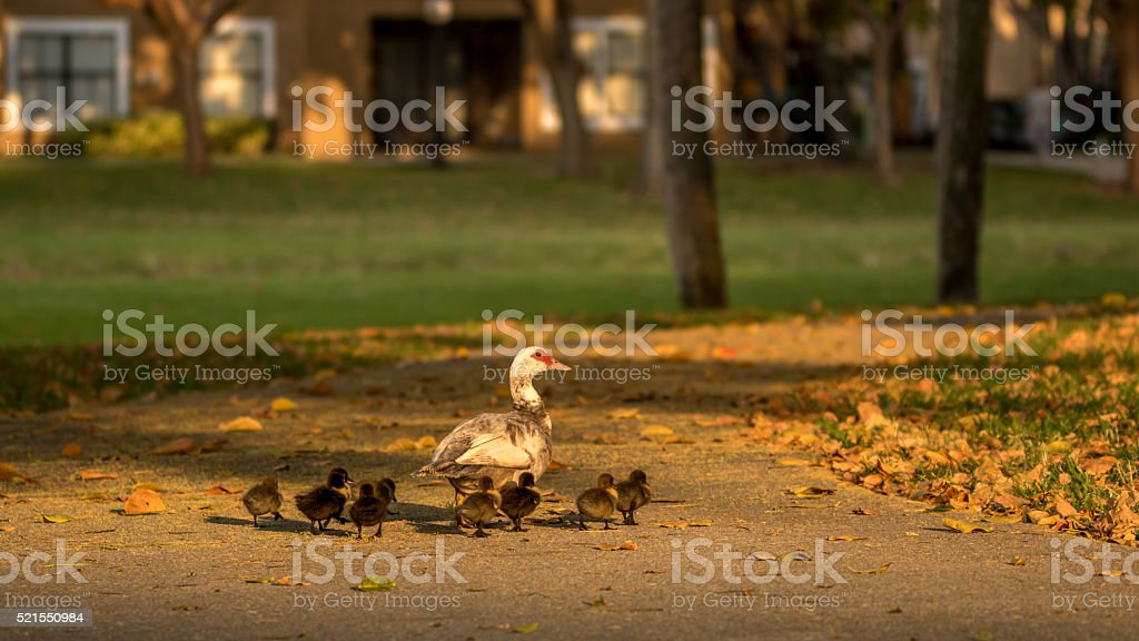 Muscovy Duck With Ducklings, Lake at The Hammocks, Kendall, Flor stock photo
