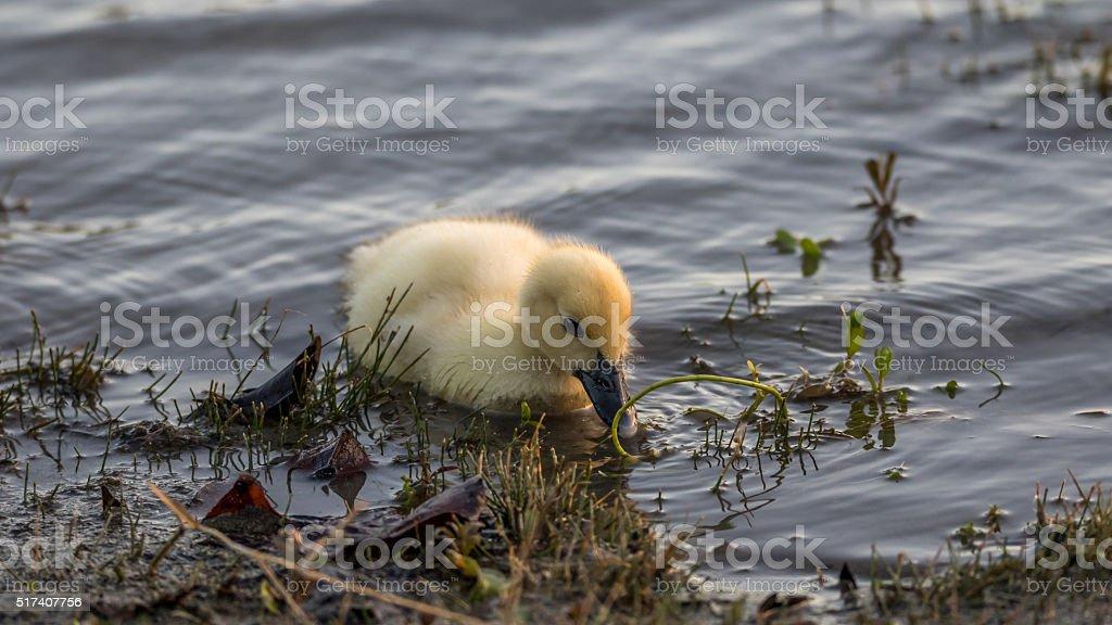 Muscovy Duckling, Lake at The Hammocks, Kendall, Florida stock photo