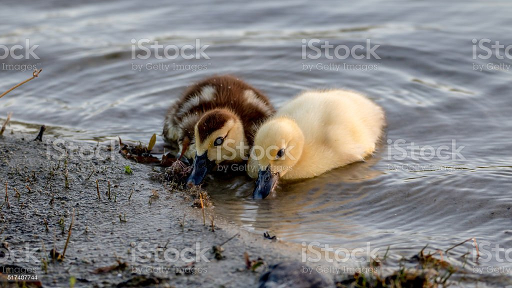 Muscovy Ducklings, Lake at The Hammocks, Kendall, Florida stock photo