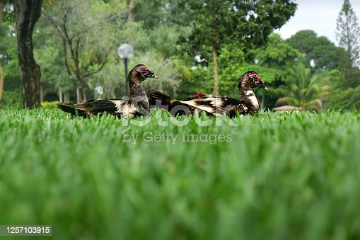 Domestic Muscovy Ducks on green grass landscape in Deerfield Beach, Florida, USA
