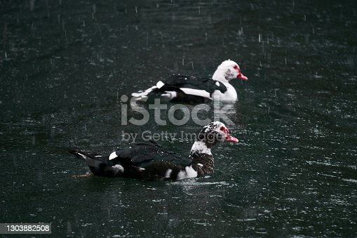 two muscovy ducks swim in a pond under a snowfall