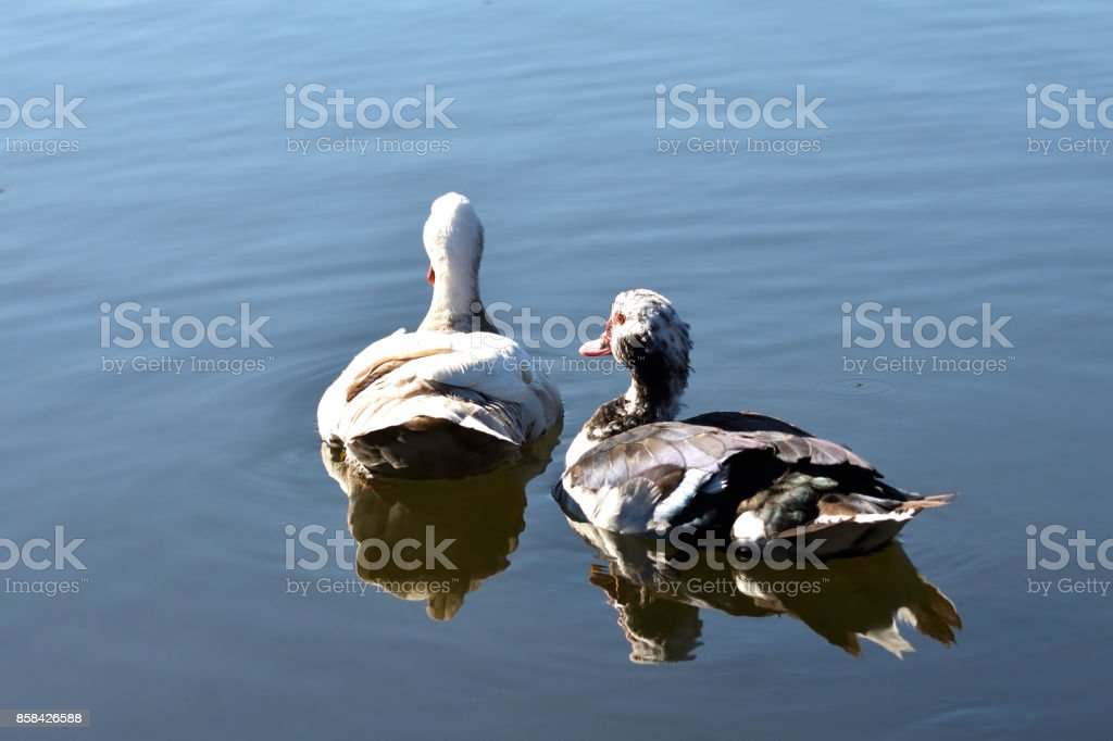 Muscovy Ducks Swimming on the Lake (pair) stock photo