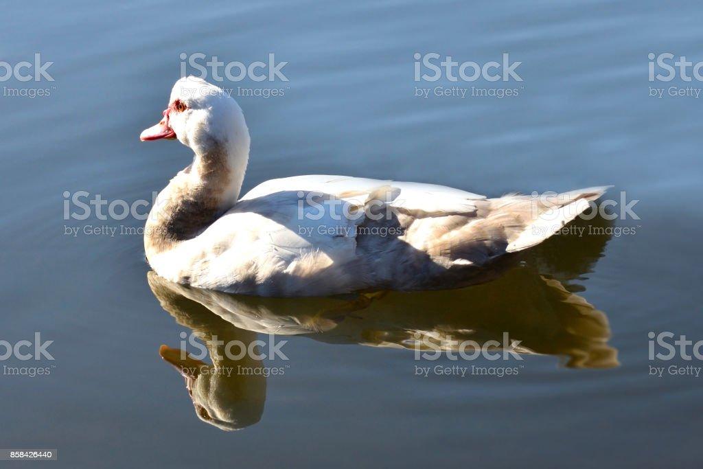 Muscovy Female Duck stock photo