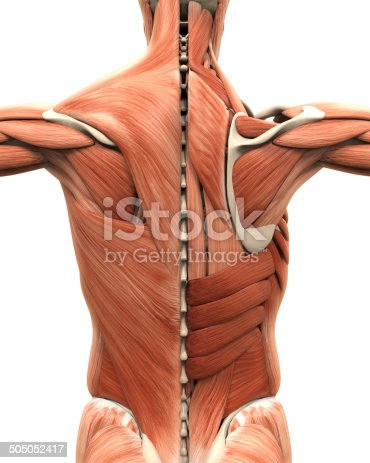istock Muscular Anatomy of the Back 505052417