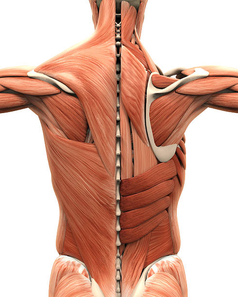 Muscular Anatomy of the Back stock photo