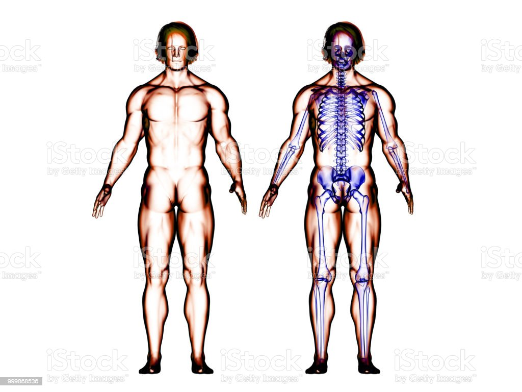 Muscular Body And Skeleton System Stock Photo More Pictures Of