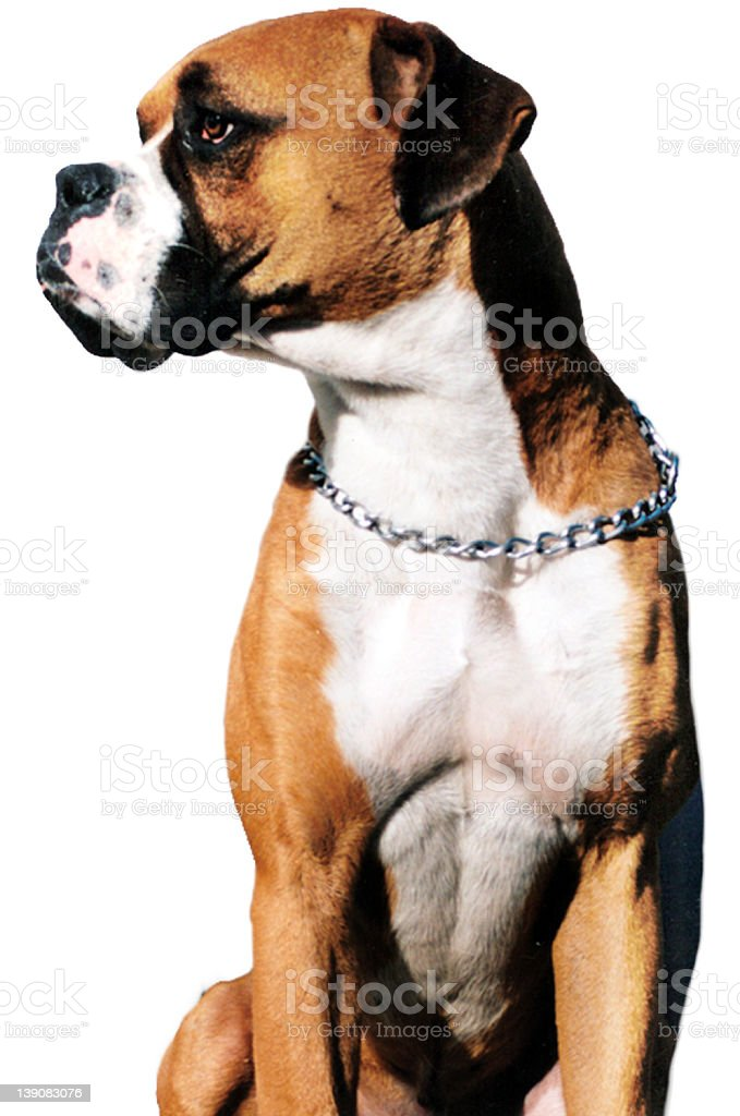 Muscular Boxer Dog Posing royalty-free stock photo