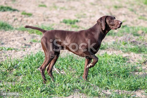 A Muscular Chocolate Brown Hound German Shorthaired Pointer A