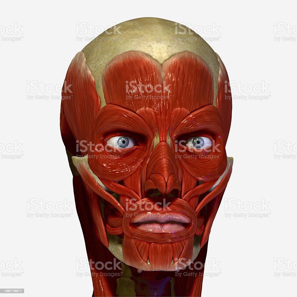 Muskeln Gesicht Stock-Fotografie und mehr Bilder von Anatomie | iStock