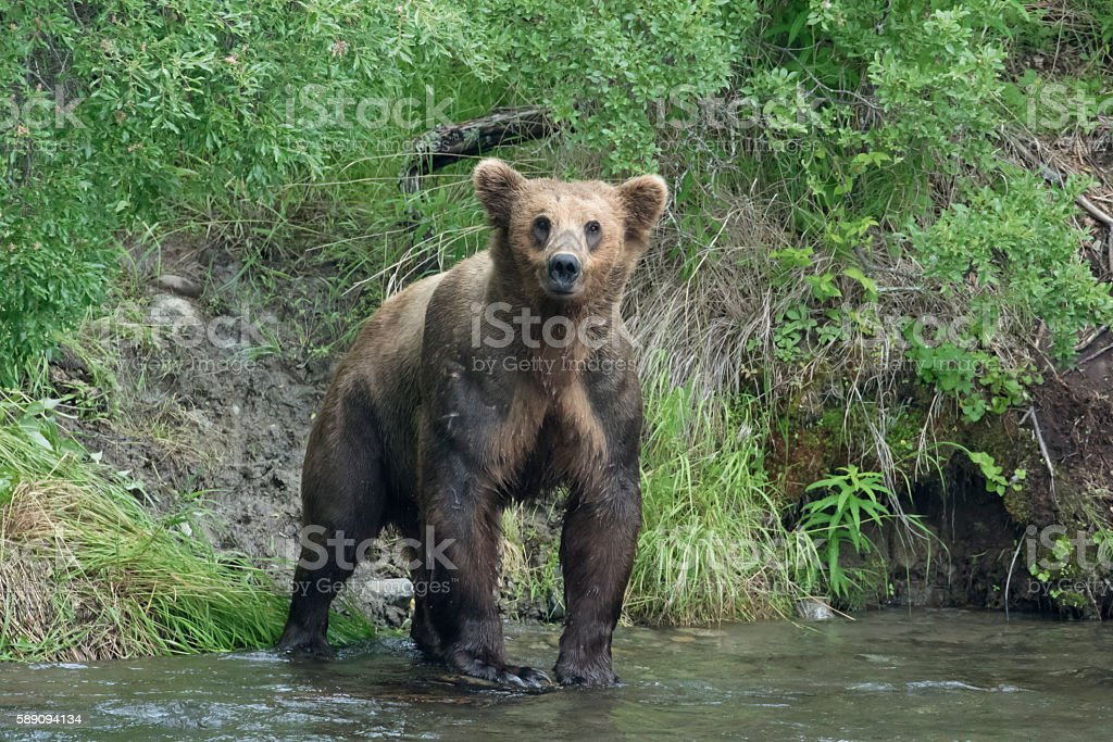 Muscular scarred brown bear with aggressive look. stock photo