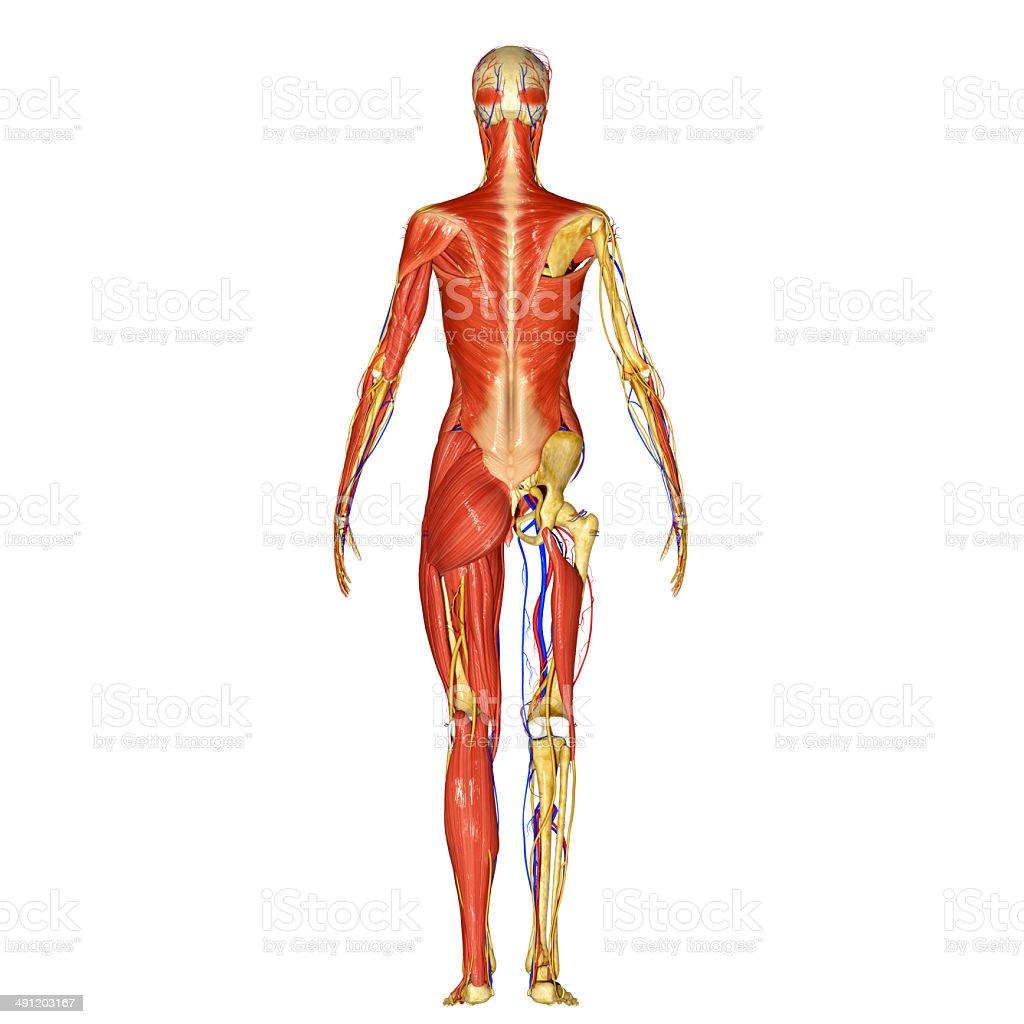 Fotografía de Sistema Muscular y más banco de imágenes de Anatomía ...