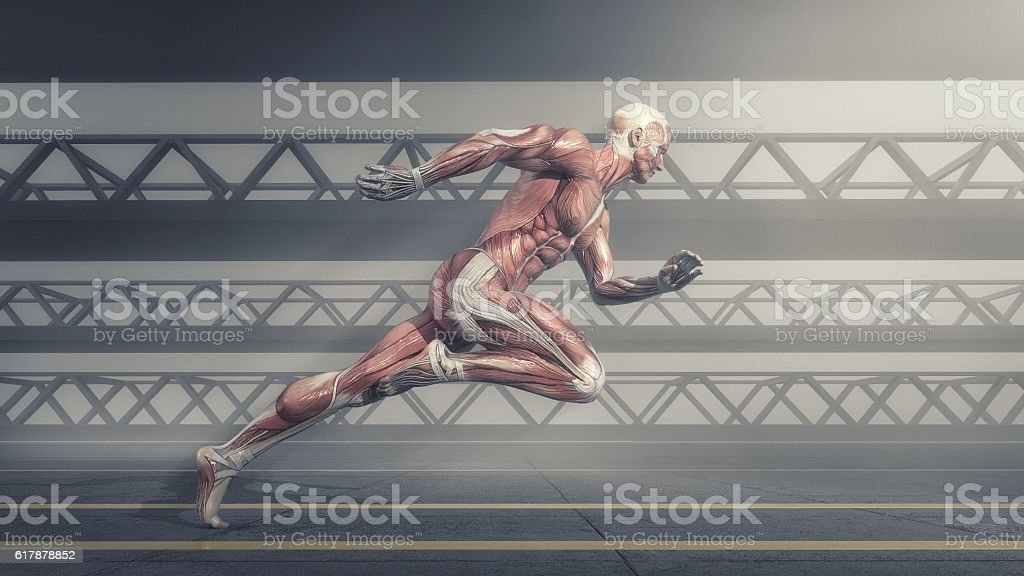 Muscular system stock photo
