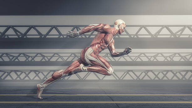 Muscular system Male muscular system running on track . This is a 3d render illustration physiology stock pictures, royalty-free photos & images