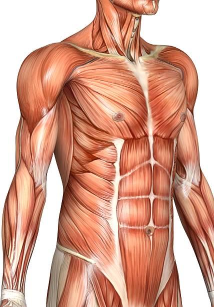 torso de homem musculoso - tronco termo anatômico - fotografias e filmes do acervo