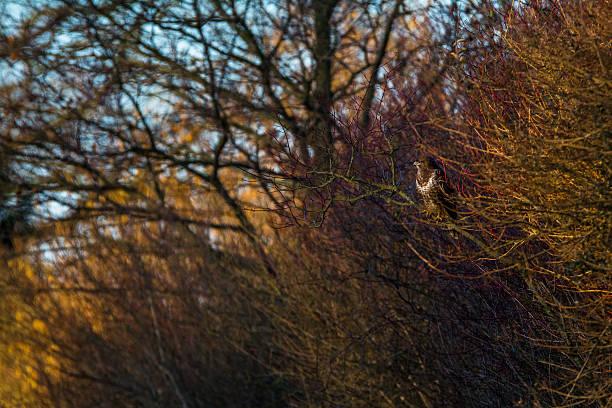 eurasian crane im dornenbusch - karnivoren stock-fotos und bilder