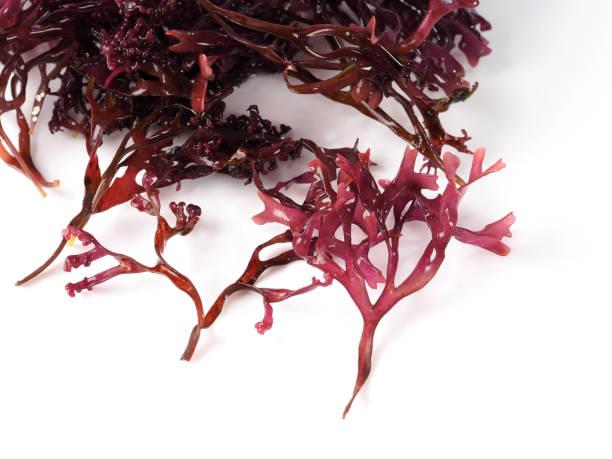 musgo estrellado – falso musgo irlandés - carrageen moss - algas fondo blanco fotografías e imágenes de stock