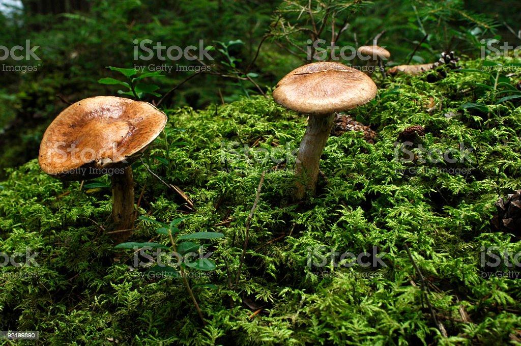Mushroom 2 royalty-free stock photo