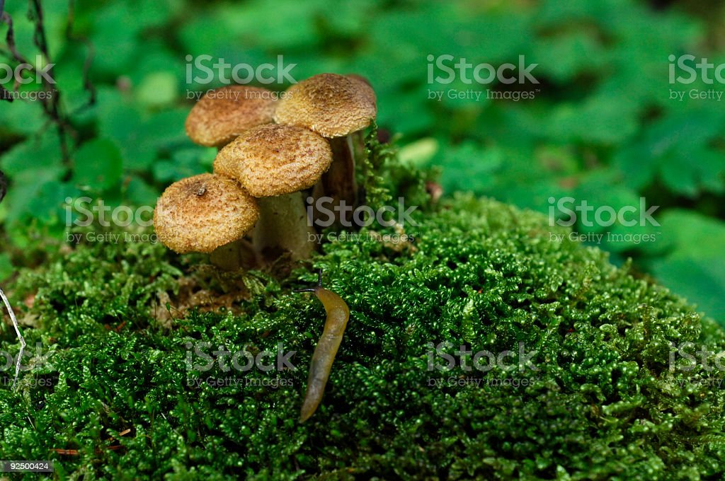 Mushroom 4 royalty-free stock photo