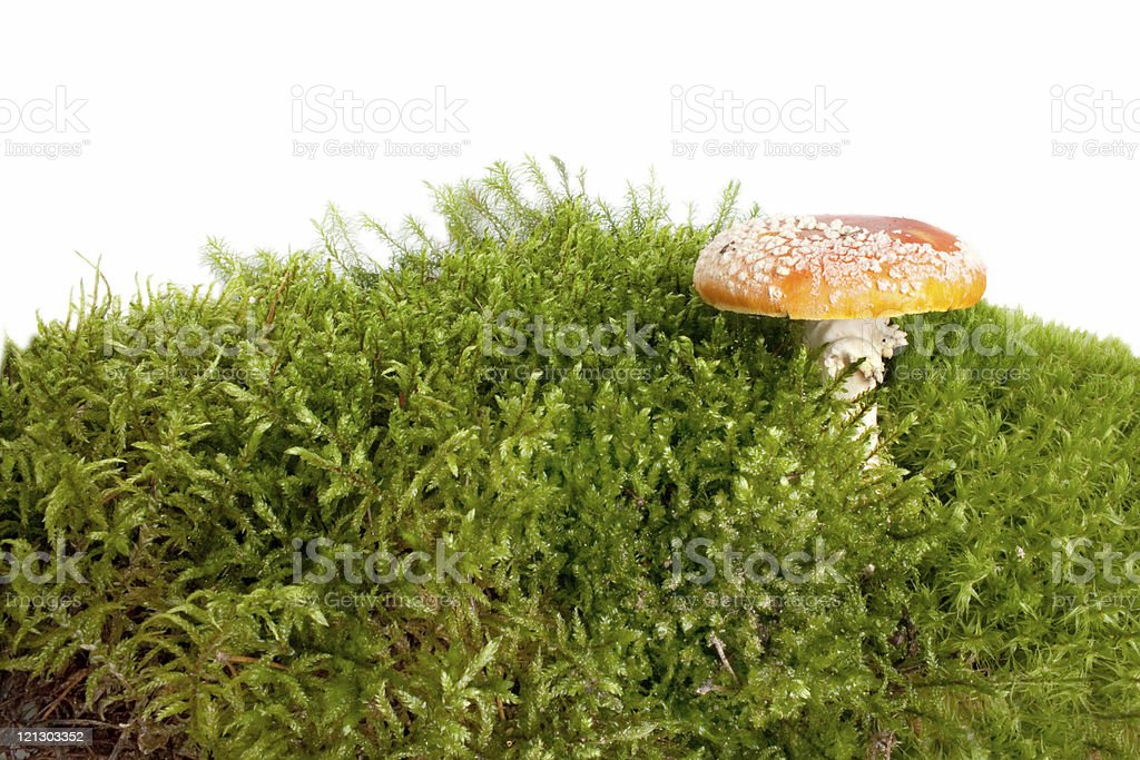 Mushroom a fly-agaric royalty-free stock photo
