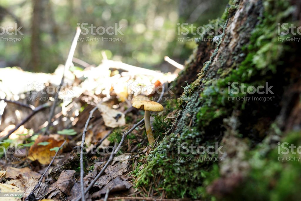 mushroom a honey agaric in the forest stock photo