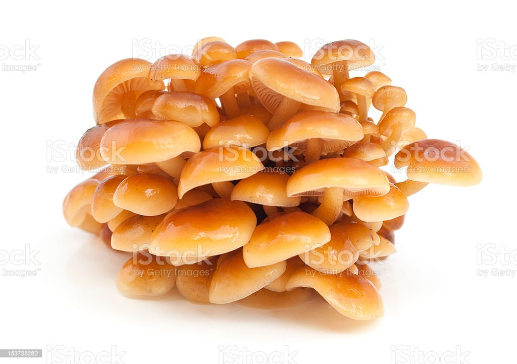 Mushroom a honey agaric stock photo