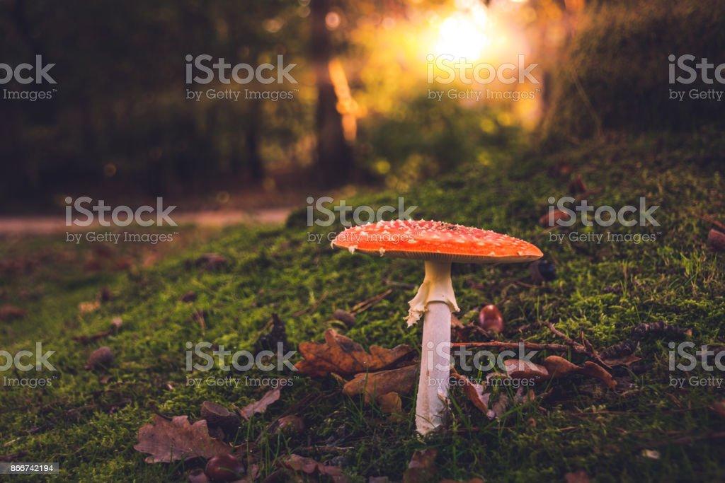 Mushroom - Amanita muscaria stock photo