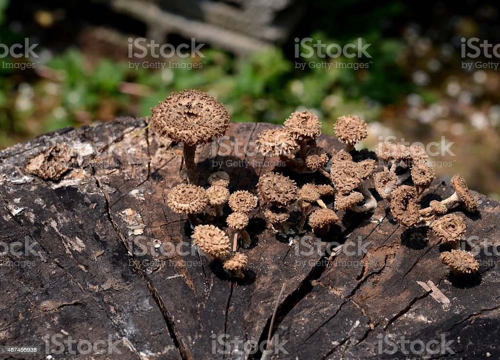 Mushroom Boletus  on old Wooden Background. stock photo