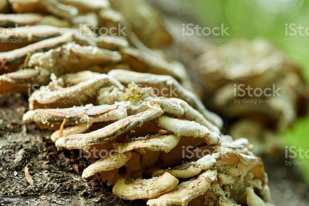 Mushroom colony on a tree stock photo