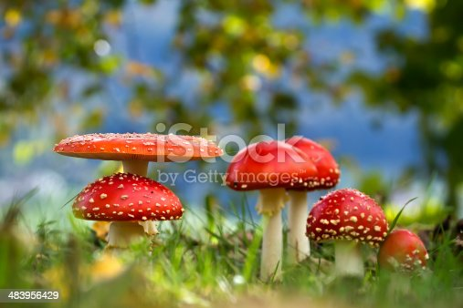 istock Mushroom fly agaric in automn 483956429