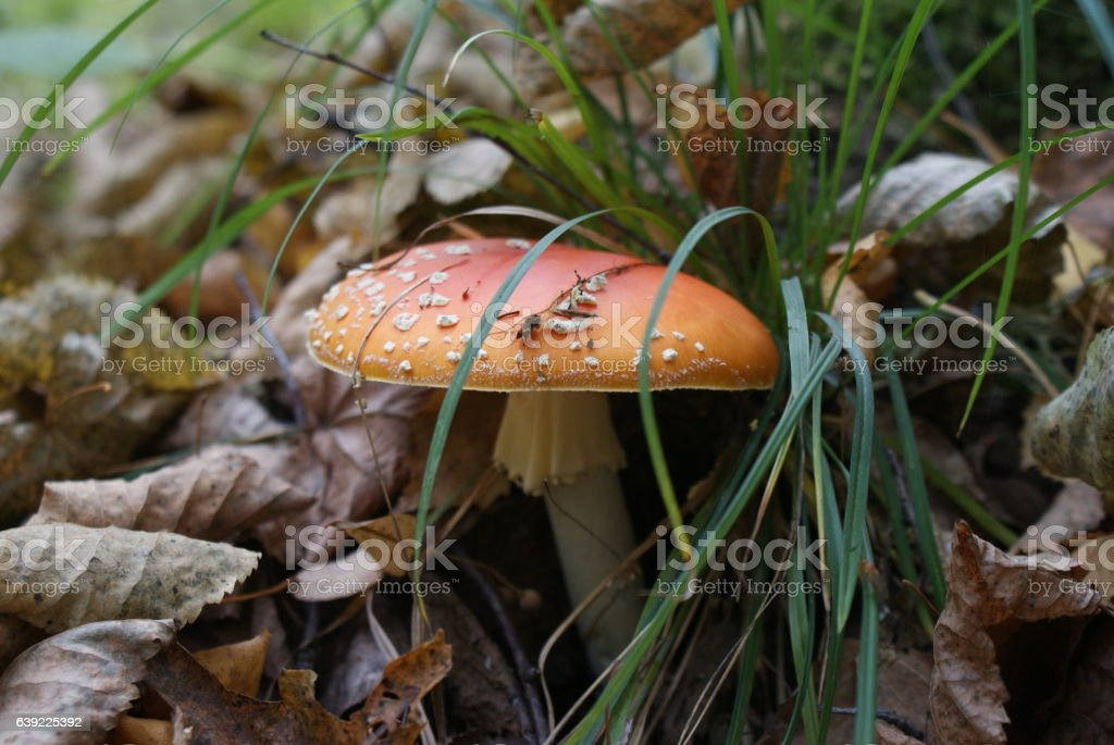 Mushroom fly agaric. stock photo