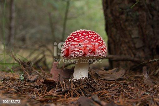istock Mushroom Fly Agaric - Seta Amanita Muscaria 509432272