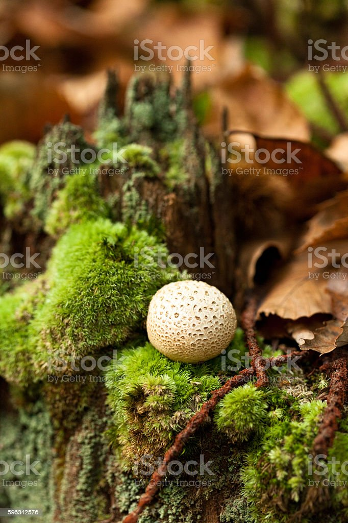 Mushroom, Forest macro, green leafs and moss, sunlight royalty-free stock photo
