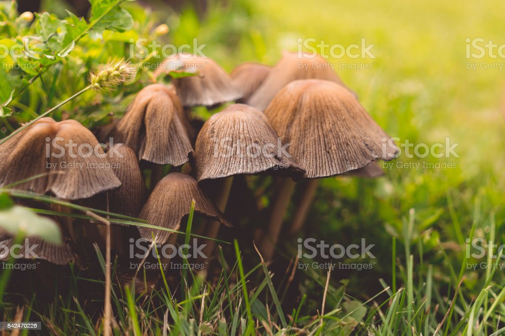 Mushroom glade in the autumn forest stock photo