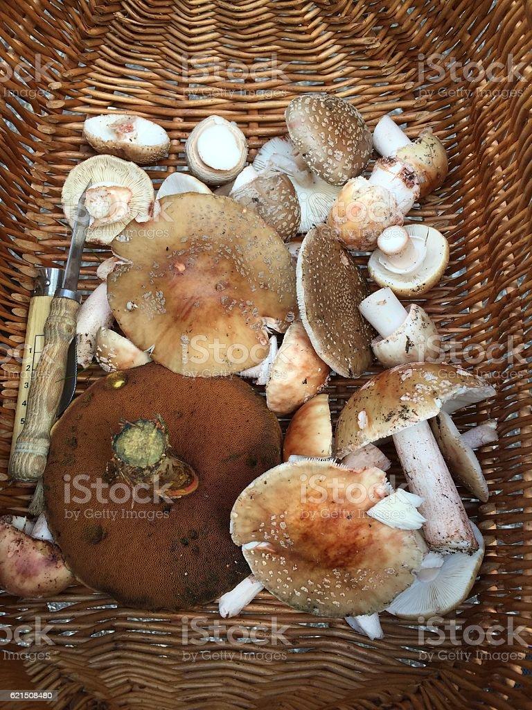Mushroom hunting, but be careful! photo libre de droits