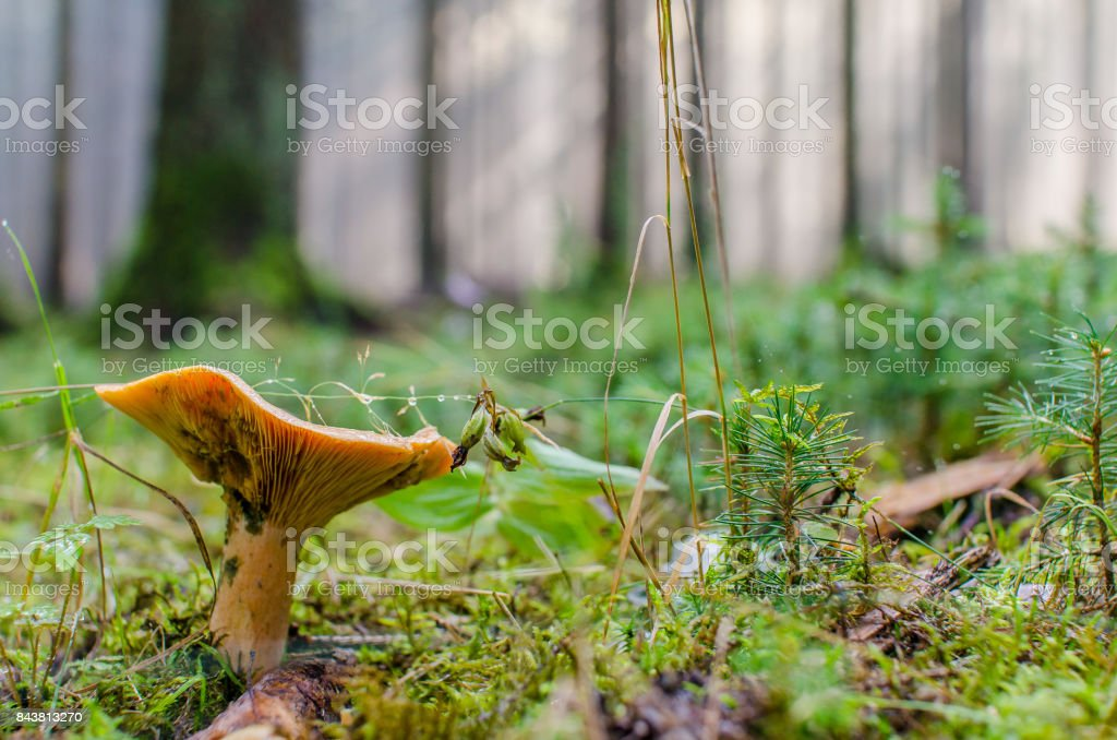 Mushroom in a forest stock photo