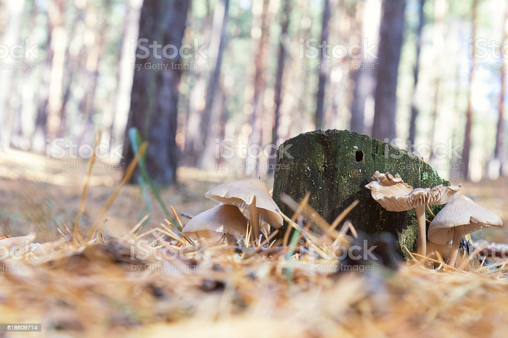 Mushroom in a sunshine forest in autumn royalty-free stock photo