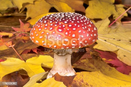 Photo of a colorful mushroom growing amongst a pile of fallen leaves.